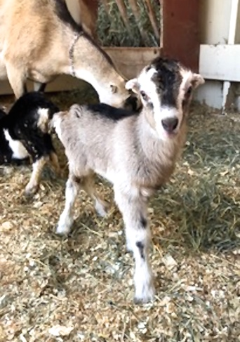 This bright little female goat is only three days old.